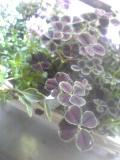 四つ葉のクローバ